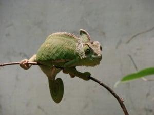 chameleons-346557_640