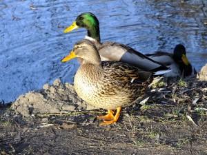 wild-ducks-279960_640