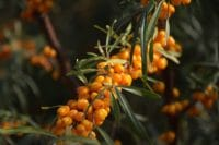 sea-buckthorn-2911630_960_720